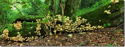 Hypholoma fasciculare Sulphur Tuft