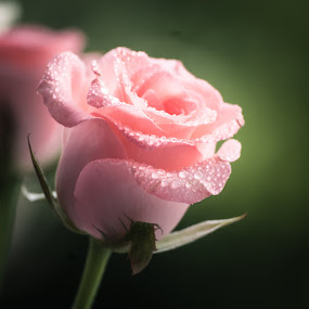 Dream by Gunbir Singh - Flowers Single Flower ( rose, rose pink, gunbir, nikon, flower )