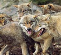 Argelès-Gazost loups