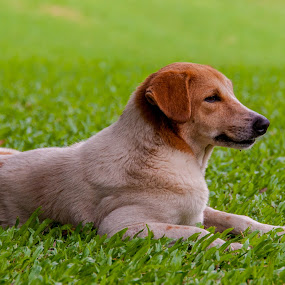A relaxing day for Oto by Ceejae Chiu - Animals - Dogs Portraits ( grass, relax, puppy, lazy, dog )