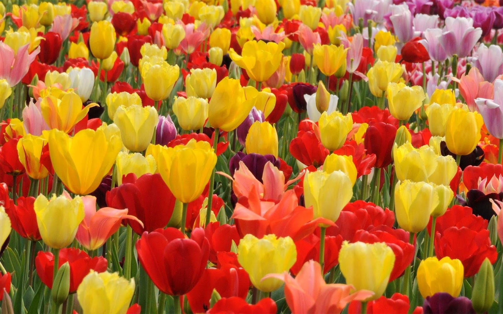 Best Tulip Flowers Wallpapers