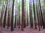 Redwoods Whakarewarewa Forest, Rotorua  [2014]