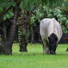 Bobby the Horse by Calum Russell - Animals Horses ( pony, horse, australia, bobby, miniature )