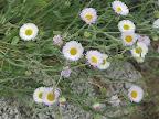 Spreading Fleabane close-up - AZ Trail 4/16