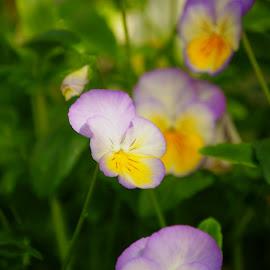 Pansy by Brenda Shoemake - Flowers Flower Buds
