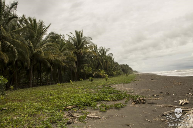 Sea turtle nesting grounds on Pacuare Beach, Costa Rica. A group of 11 volunteers working with Sea Shepherd Conservation Society's Sea Turtle Defense Campaign 'Operation Jairo' were attacked by poachers on 25 June 2015, during a peaceful patrol of Costa Rica's Pacuare Beach to locate and protect nesting endangered turtles and their eggs. Two volunteers sustained minor injuries. Photo: Eva Hidalg / Sea Shepherd
