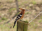 African hoopoe (photo by Clare)