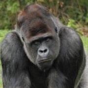 Vallée des Singes gorille