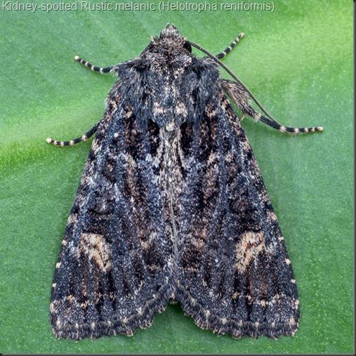 9453 Kidney-spotted Rustic melanic (Helotropha reniformis)