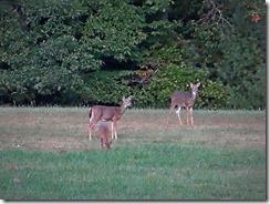 deer at Little Beaver St.Pk 007
