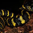 Luzon Mangrove Snake