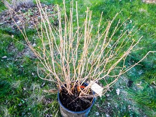 Planting a Hazelnut Bush