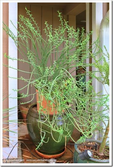 151024_Euphorbia-mauritanica001