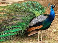 Cara merawat burung merak