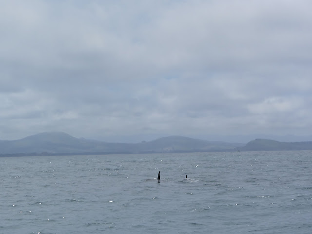 Orcas (killer whales) ahead!