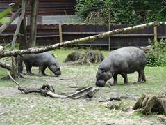 201506.21-034 hippopotames nains