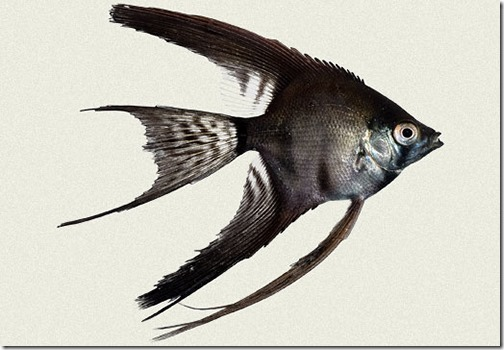 ca-xinh-ban-ca-than-tien-den-pterophyllum-scalare-black-black-angel-fish-2