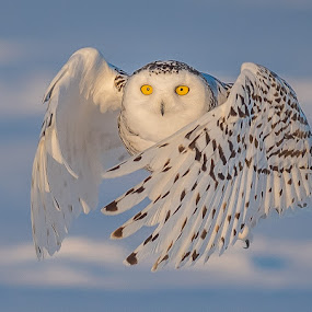 Snowy Owl by Rolland Gelly - Animals Birds ( rolland quebec canadfa )