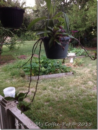 yard pictures mid july 2015 085