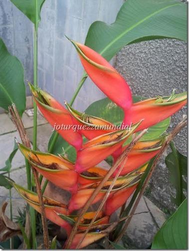 FLOR Bananeira de jardim