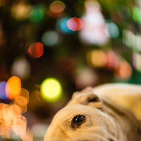 I love Christmas  by Alessio Coluccio - Public Holidays Christmas ( tree, christmas, dog, labrador )