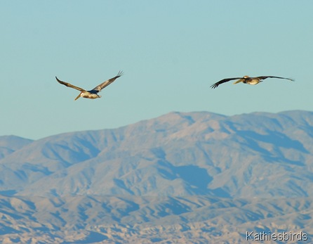 19. DSC_0340 Brown pelicans Salton Sea 2012