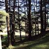 naldehra trees1.jpg