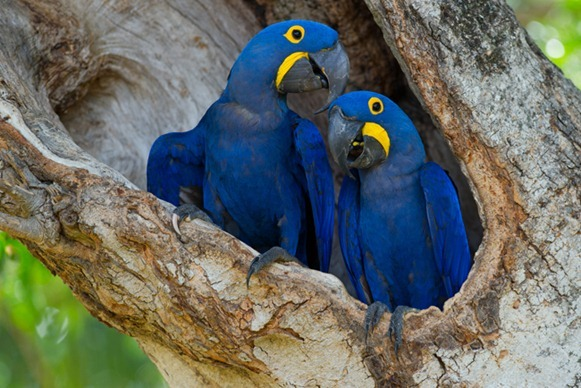 Arara-azul-grande-(Anodorhynchus-hyacinthinus)---foto-João-Quental