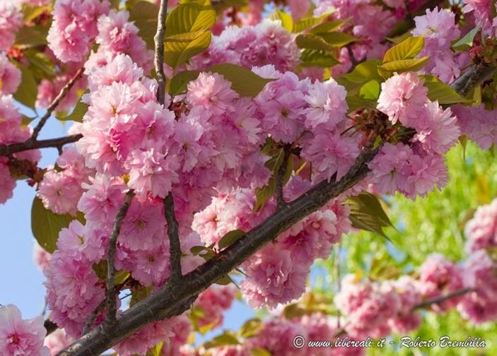2015-04-15_Ciliegio giapponese-Prunus serrulata_Varenna-014 (FILEminimizer)