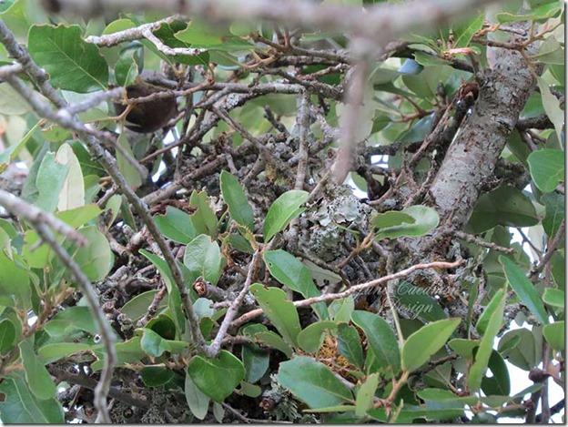 Mockingbird_nest