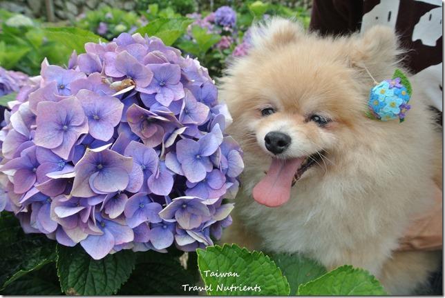 陽明山繡球花 (30)