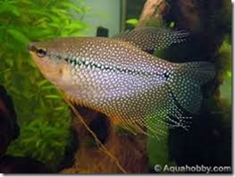 be-ca-canh-pearl_gourami_casactranchau002-be-thuy-sinh