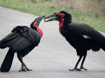 Southern ground hornbills (photo by Clare) - Kruger National Park. Their populations are also declining.