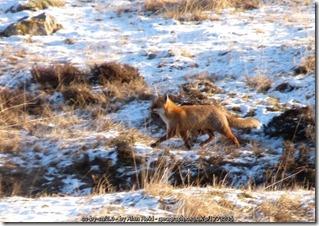 Fox foraging  along Allt Dubh-mor