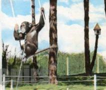 Etretat chimpanzé