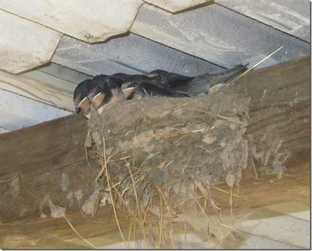 Rauchschwalben im Nest