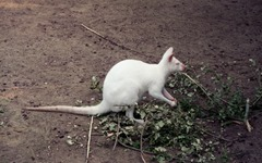 1992.07.07-104.03 kangourou blanc