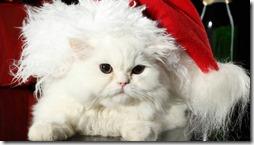 77- gatos blanco o crema (7)- buscoimagenes