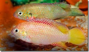 be-ca-canh-jewel_cichlid_african_jewelfish_cakimcuongdo003-be-thuy-sinh