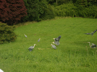 Harry - Herons Feeding