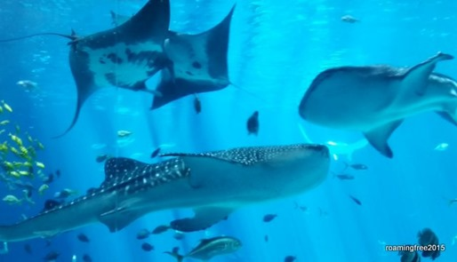 Whale Sharks and Manta Rays