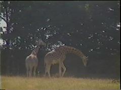 1998.06.23-010 girafes