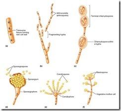 spora pada fungi
