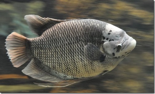 be-ca-canh-giant_gourami_cataituong001-be-thuy-sinh