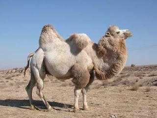 Camello peludo