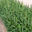 p2 serbian spruce.jpg spruce.jpg