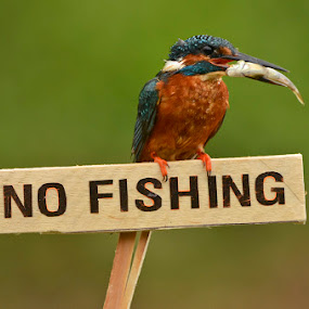 No Fishing ! by Keith Bannister - Animals Birds ( animals, nature, wildlife, birds, kingfishers )