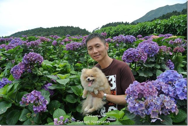 陽明山繡球花 (64)