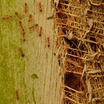 mrówki-giganty na palmie