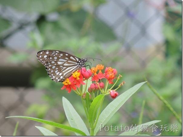 菁寮國小的蝴蝶園-絹斑蝶與花兒